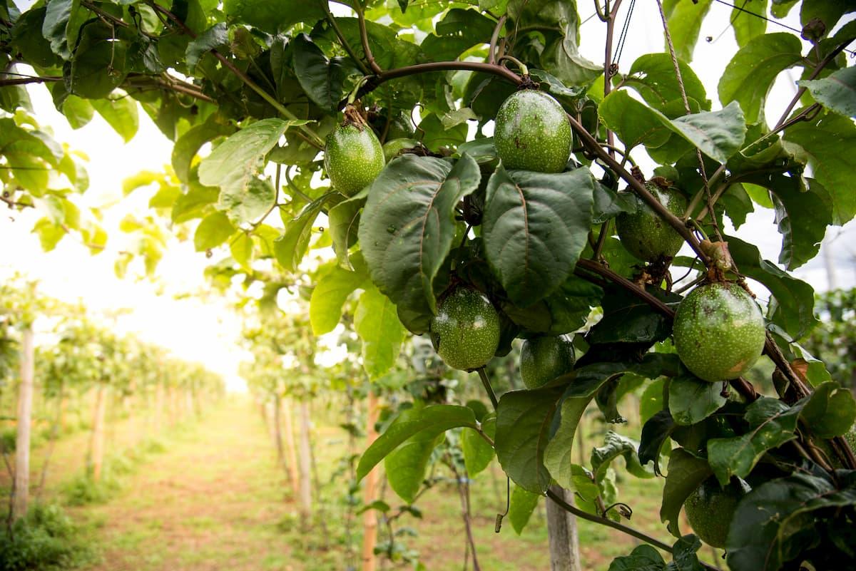 Comment Pousse Les Avocats quel est le (vrai) coût de l'avocat ? | efta fair trade
