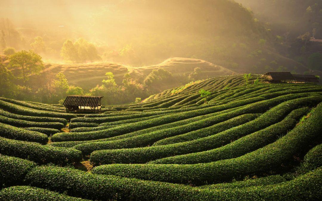 Que faut-il savoir sur le commerce équitable du thé ?
